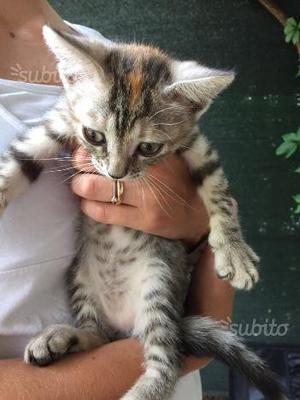 Regalo stupenda gattina