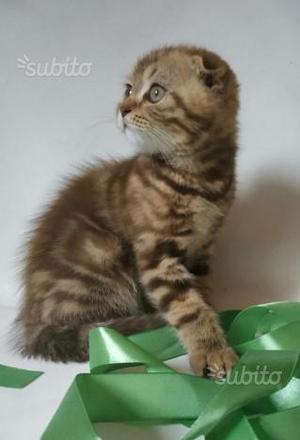 Scottish Fold Gattino disponibile