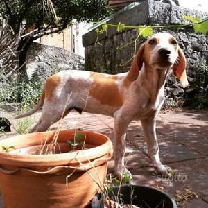 Segugio-beagle cucciolo 5 mesi