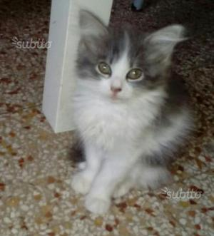 Ultima gattina mix maine coon