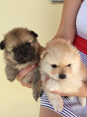 Volpino Spitz cuccioli