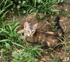 Gattina tigrata 3 mesi vaccinata e testata