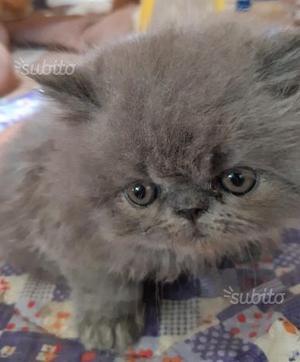 5 cuccioli di gatti persiani ipertipici