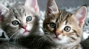 Adozione gattini
