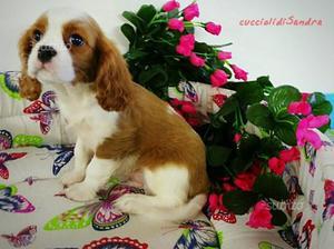 Amicizia e dolcezza cavalier cucciolo maschio