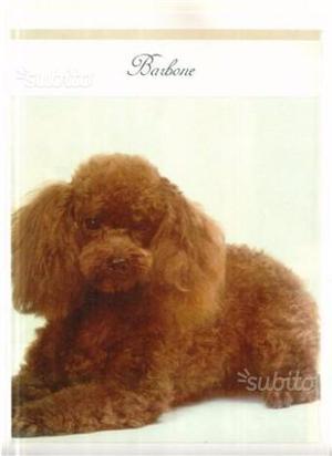 Barboncino toy maschio marrone
