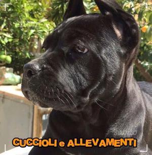 Cane Corso Cuccioli - Pedigree/Allevamento