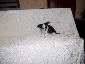 Chihuahua toy pelo lungo femmina
