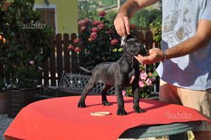 Cuccioli cane corso altissima Genealogia
