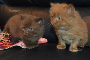Cuccioli di British Shorthair/Longhair pedigree