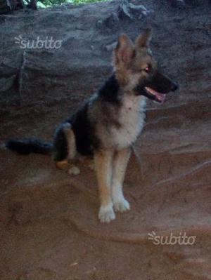Cucciolo cane incrocio pastore belga, canelupo
