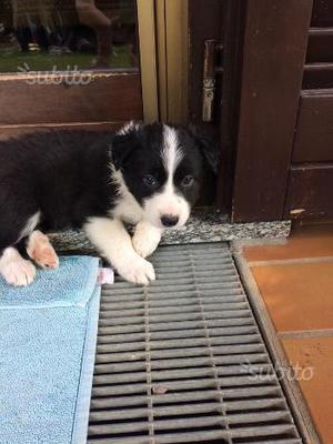 Cucciolo di Border Collie disponibile