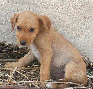 Denny cucciolo 2 mesi e mezzo