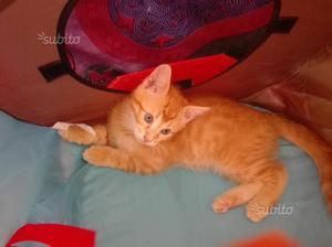 Gattino rosso 3mesi e mezzo circa