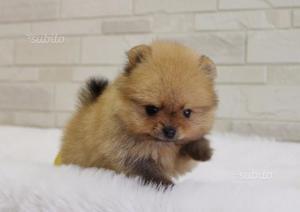 Gioia e simpatia cucciolo di spitz toy