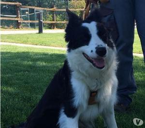 Glenna meravigliosa cucciolona border collie cerca famiglia