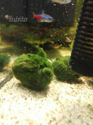 Muschio alga cladophora, marimo