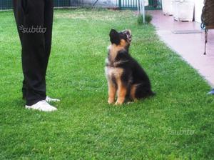 Pastore tedesco cucciolo allevamento