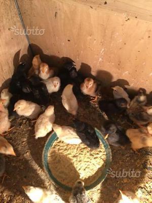 Pulcini di gallina