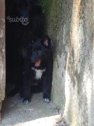 Regalasi cucciolo pastore belga