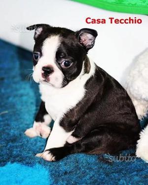 Boston Terrier cuccioli con pedigree ENCI FCI