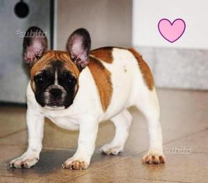 Bouledogue francese cuccioli con pedigree ENCI FCI