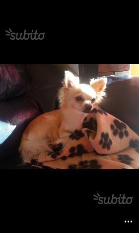 Chihuahua maschio