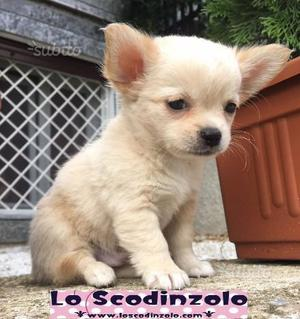 Chihuahua toy cuccioli pelo lungo