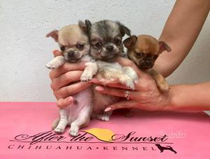 Cuccioli Chihuahua Pelo Corto e Lungo PEDIGREE