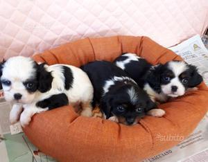 Cuccioli cavalier king maschi