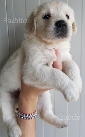 Cuccioli di golden retriever con pedigree enci