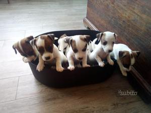 Cuccioli di jack russel terrier con pedigree ROI