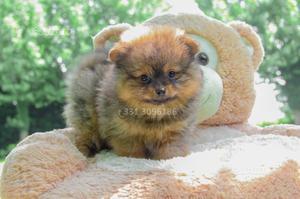 Cucciolo di Volpino di Pomerania disponibile