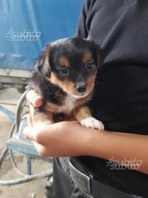 Cucciolo taglia piccola mix Chihuahua volpino