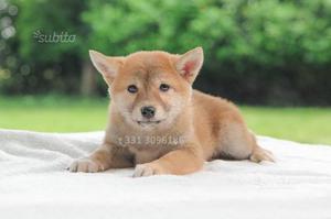 Disponibile cucciola di Shiba Inu