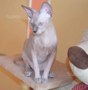 Femminucce Sphynx con pedigree
