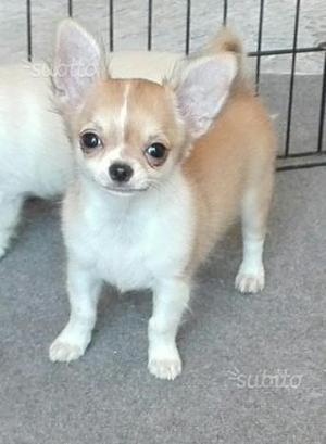 Femminuccia di Chihuahua Cucciola pelo lungo