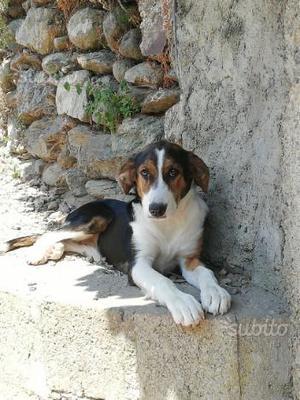 Gaia dolce cucciola incrocio segugio e beagle