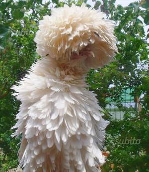 Gallina padovana bianca c.e.r.c.o