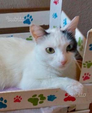 Gattina 1 anno sterilizzata