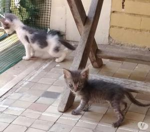 Gattini europei