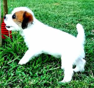 Jack Russel,Terrier