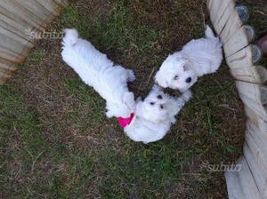 Maltese cuccioli maschi e femmine