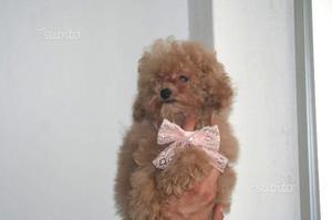 Minuscola cucciola di Barboncino mini Toy