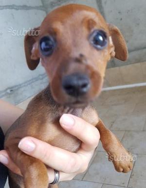 Pinscher cuccioli di 3 mesi