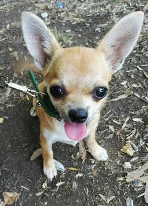 Chihuahua di 7 mesi maschio e femmina