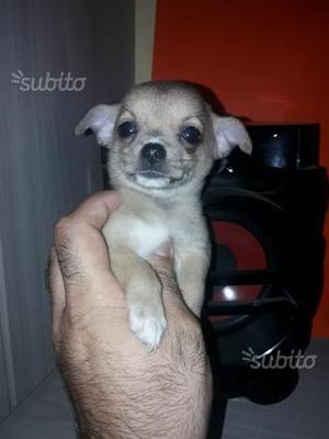 Chihuahua femmine