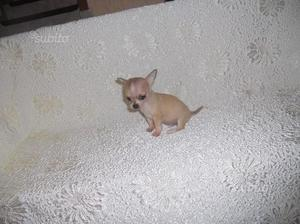 Chihuahua toy pelo corto e pelo lungo