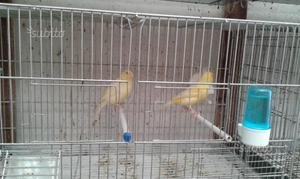 Coppie di canarini
