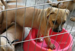 Cucciola Pitbull UKC con pedigree